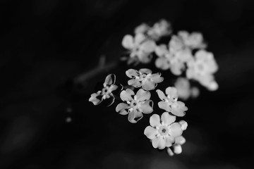 Beautiful flowers woodland forget-me-not. Myosotis sylvatica. funeral bouquet. Artistic black and white scene
