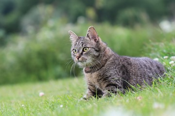 Beautiful tabby cat lying in the blooming meadow. Felis silvestris catus. Cat in the nature