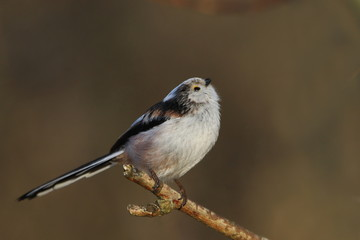 Long-tailed tit sitting on the branch with brown background. song bird in the nature habitat. wildlife scene from nature habitat. Aegithalos caudatus