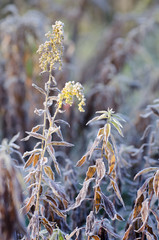 Autumn background with dry goldenrod flowers in a frosty field