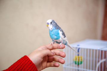 The budgerigar is sitting on the girl's hand Fotomurales