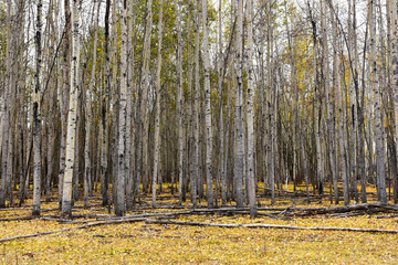 Garden Poster Birch Grove Tall Poplar Trees Background