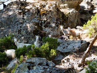 Troupeau de chèvres en plein nature