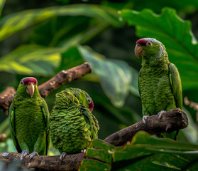 Green, Blue, and Red Plumage on a Trio of Blue Crested Parrots on a Vine