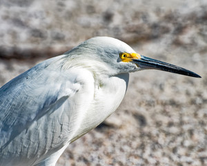 Egret resting and watching