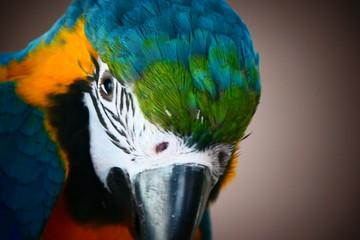 Door stickers Parrot Pappegaai papegaai Ara geel bauw