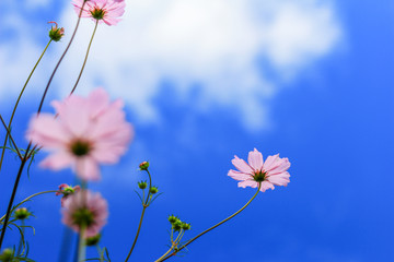 Cosmos flower and blue sky with selective focus