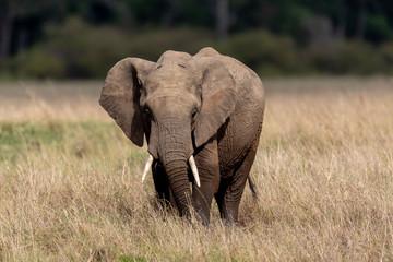 African elephant in Masai Mara, Kenya, Africa
