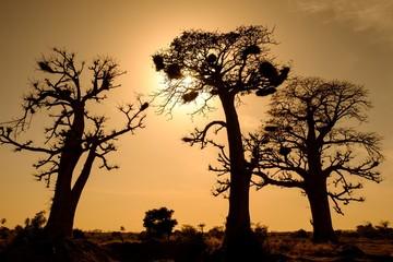 Silhouettes of African baobabs (Adansonia digitata), Dakar Region, Senegal, Africa