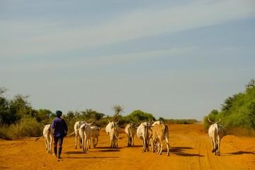 Shepherd leads his cattle herd on a gravel road, Bambilor, Dakar region, Senegal, Africa