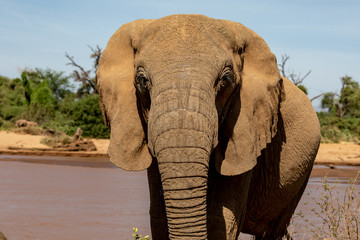 African elephant in Kenya Africa