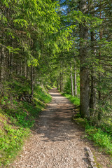 The path for hiking in the coniferous forest.