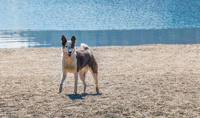 Perro color blanco y marrón parado mirando hacia la derecha de la foto sobre la arena, con un lago de fondo