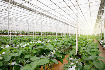The hydroponics vegetable at greenhouse hydroponics farm with high technology farming in close system