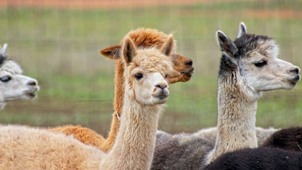 Different Color Texan Alpacas together looking towards the right, in Texas