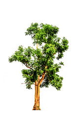 Neem tree isolated on white background and clipping path. The name of science : Azadirachta indica.