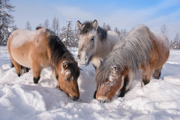 In Yakutia, horses live in the open air all year round (at temperatures in summer up to + 40 ° C and in winter up to −60 ° C) and look for food on their own.