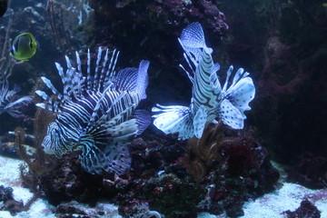 tropical fish in aquarium