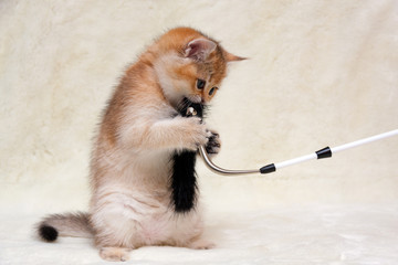 Funny ginger British kitten playing with a fluffy stick standing on its hind legs, a little kitty chews toy for cats.