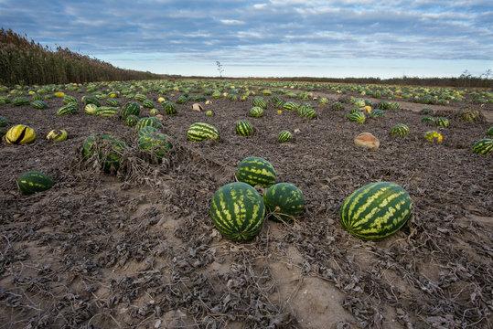 Late autumn, watermelon field in Astrakhan region, Russia