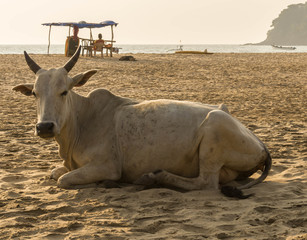Cow lying on the beach infront of the Arabian Sea in the hot afternoon sun on Agonda Beach in Southern Goa, India