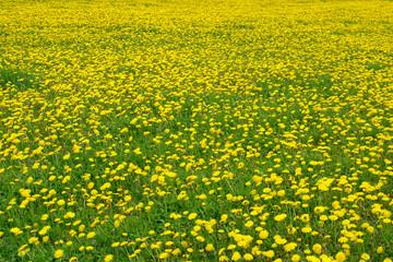 Grüne Wiese mit gelben Pusteblumen im Sommer