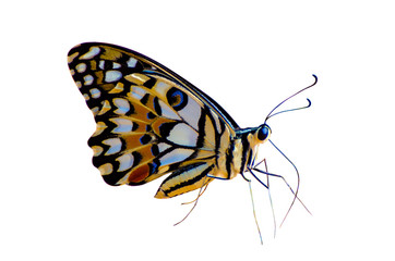 Wall Mural - Butterfly spots orange yellow white background Isolate