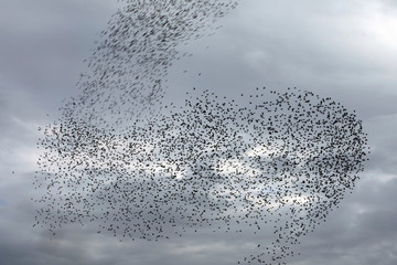 A murmuration of migrating starlings is seen across the sky near the city of Rahat, southern Israel