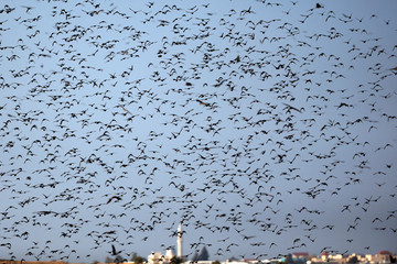 A murmuration of migrating starlings fly across the sky as a mosque is seen in background near the city of Rahat, southern Israel