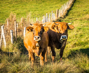 Fototapete - nice cow