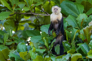 A wild capuchin monkey in an almond tree in the Carara National Park in Costa Rica