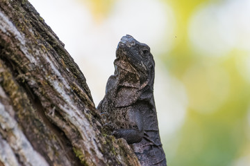 Spiny tailed iguana in a tree in the Carara National Park in Costa Rica
