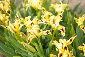 yellow flowers irises with sunlight, spring flowers