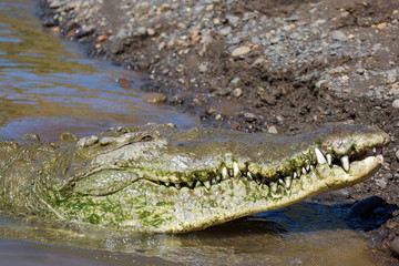 American Crocodile in the Tarcoles River in Costa Rica