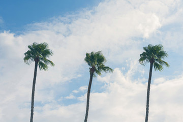 Three palm trees on a cloudy blue sky background. Summer vacation and  travel concept