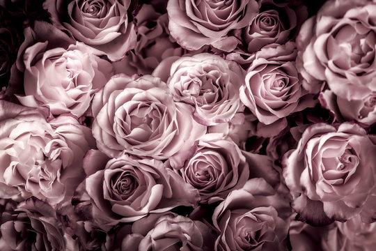 Rosen in pink dunkel, Hintergrund