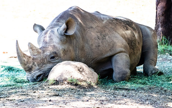 Black Rhinocerus