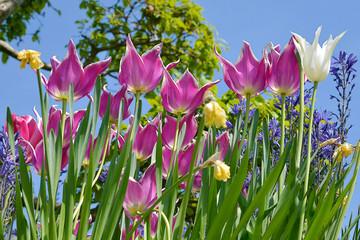 closeup purple tulips (Tulipa) on blue sky background
