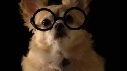 8bdc592f1243 0 28 cute brown chihuahua with black glasses nerd stylish dark blackground