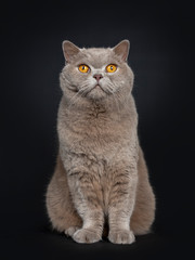Handsome senior cinnamon British Shorthair cat sitting facing front. Looking above lens with wise orange eyes. Isolated on black background.