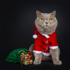 Handsome senior cinnamon British Shorthair cat sitting facing front wearing santa jacket, beside wooden christmas tree and green bag of presents. Looking above lens. Isolated on black background.