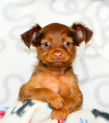 Small, funny puppy close-up. Portrait of a red dog on a light background, front view. Cute animal posing in the Studio. Long-haired Russian Toy Terrier. Vertical image.