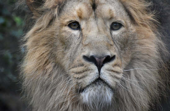 Male Adriatic lion portrait close up face and head