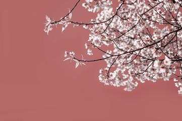 Wall Mural - Soft focus Cherry Blossom or Sakura flower
