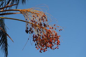 date tree fruits