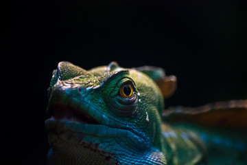 Leguan isoliert vor einem schwarzen Hintergrund