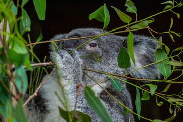 Animal / Wildlife concept. Beautiful close up view of cute liitle koala bear baby on the eukalyptus tree eating leaves. Wildlife animal in nature. Brisbane, Australia
