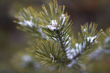 Christmas tree branch with snow closeup