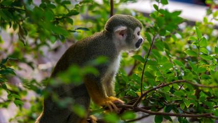Squirrel monkey sitting in a tree