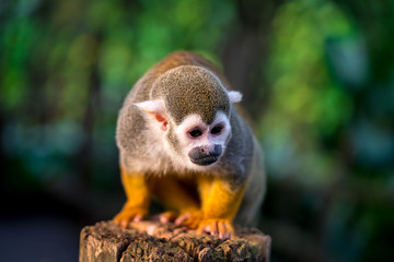 Squirrel monkey sitting on a tree trunk